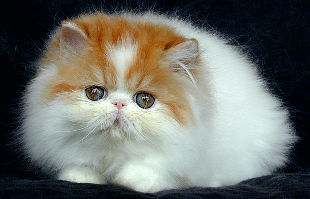 Unduh 95+  Gambar Kucing Anggora Dan Persia Yang Lucu Paling Baru HD